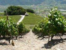 El vino de Saillon alinea el valle Wallis Suiza de rhone Fotografía de archivo