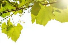 El vino verde deja la frontera en el fondo blanco fotos de archivo libres de regalías