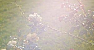 El vintage coloreó el vídeo de rosas en jardín con luz del sol y llamaradas del centelleo almacen de video