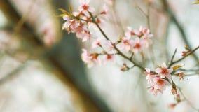 El vintage de Sakura rosado florece en la montaña de Phu Lom Lo almacen de metraje de vídeo