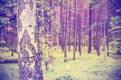 El vintage filtró la foto del abedul en un bosque Foto de archivo