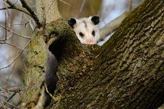 El virginiana de Virginia Opossum Didelphis en el árbol imagenes de archivo