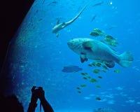 El visitante hace el cuadro de mero gigante Imagenes de archivo