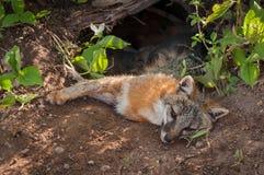 El Vixen del cinereoargenteus de Grey Fox Urocyon miente en Den Feeding Ki Imagenes de archivo