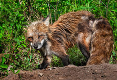 El Vixen del Fox rojo (vulpes del Vulpes) mira para arriba de la excavación Den Site Fotos de archivo libres de regalías