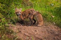 El Vixen del vulpes del Vulpes del Fox rojo mira lejos de guarida Imagen de archivo libre de regalías