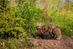 El Vixen del vulpes del Vulpes del Fox rojo se coloca en la guarida Foto de archivo