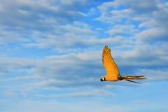 El volar amarillo de los pájaros del Macaw Imagenes de archivo