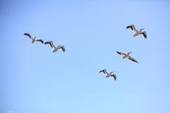 El volar americano de 5 pelícanos blancos Imágenes de archivo libres de regalías