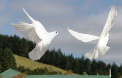 El volar blanco de dos palomas Fotografía de archivo