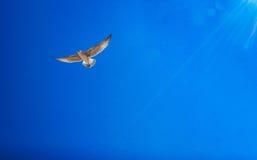 El volar blanco de las gaviotas Imagen de archivo libre de regalías
