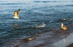 El volar blanco de las gaviotas Fotografía de archivo
