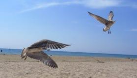 El volar blanco de las gaviotas Foto de archivo