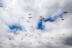 El volar de cabeza negra de los pájaros de Ibis Imagen de archivo