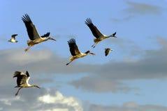 El volar de cuatro cigüeñas Foto de archivo
