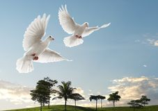 El volar de dos palomas imagen de archivo libre de regalías