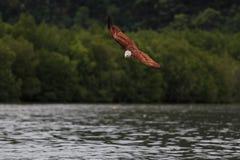 El volar de Eagle por encima de la superficie Fotos de archivo libres de regalías
