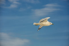 El volar de la gaviota de izquierda a derecha contra el cielo azul Foto de archivo libre de regalías