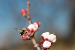 El volar de las abejas Fotografía de archivo