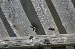 El volar de las abejas Fotos de archivo libres de regalías