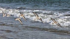 El volar de las aves costeras Fotos de archivo libres de regalías