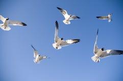 El volar de las gaviotas imagen de archivo libre de regalías