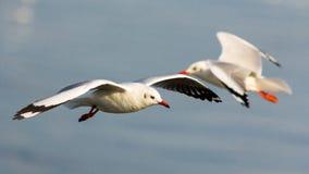 El volar de las gaviotas Imágenes de archivo libres de regalías
