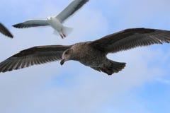 El volar de las gaviotas Fotos de archivo