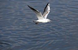 El volar de las gaviotas Foto de archivo