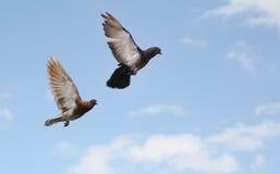 El volar de las palomas Imagenes de archivo