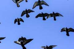 El volar de las palomas Imagen de archivo libre de regalías