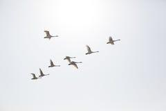 El volar de los cisnes Imágenes de archivo libres de regalías