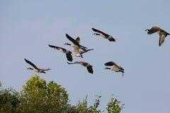El volar de los gansos Fotografía de archivo
