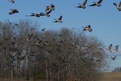 El volar de los gansos fotos de archivo