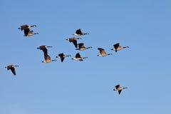 El volar de los gansos de Canadá Foto de archivo