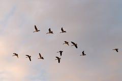 El volar de los gansos de Canadá Foto de archivo libre de regalías