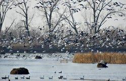 El volar de los gansos de nieve Imagen de archivo