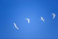 El volar de los gooses de la nieve Imagen de archivo libre de regalías