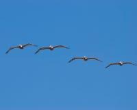 El volar de los pájaros Foto de archivo libre de regalías