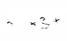 El volar de los pájaros Fotografía de archivo