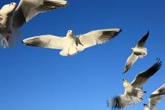 El volar de los pájaros de la gaviota Fotografía de archivo