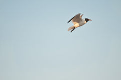 El volar de los pájaros de mar Fotografía de archivo