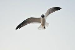 El volar de los pájaros de mar Fotografía de archivo libre de regalías