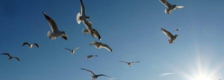 El volar de los pájaros de mar Fotos de archivo