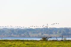 El volar de los patos de los patos silvestres Imagenes de archivo