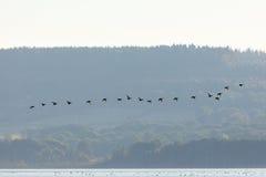 El volar de los patos de los patos silvestres Foto de archivo libre de regalías