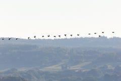 El volar de los patos de los patos silvestres Fotografía de archivo libre de regalías