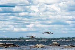 El volar de los patos salvajes Foto de archivo