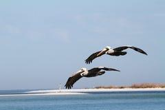 El volar de los pelícanos de Brown Fotografía de archivo