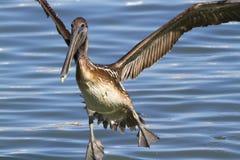 El volar de los pelícanos de Brown (occidentalis del Pelecanus) Fotos de archivo